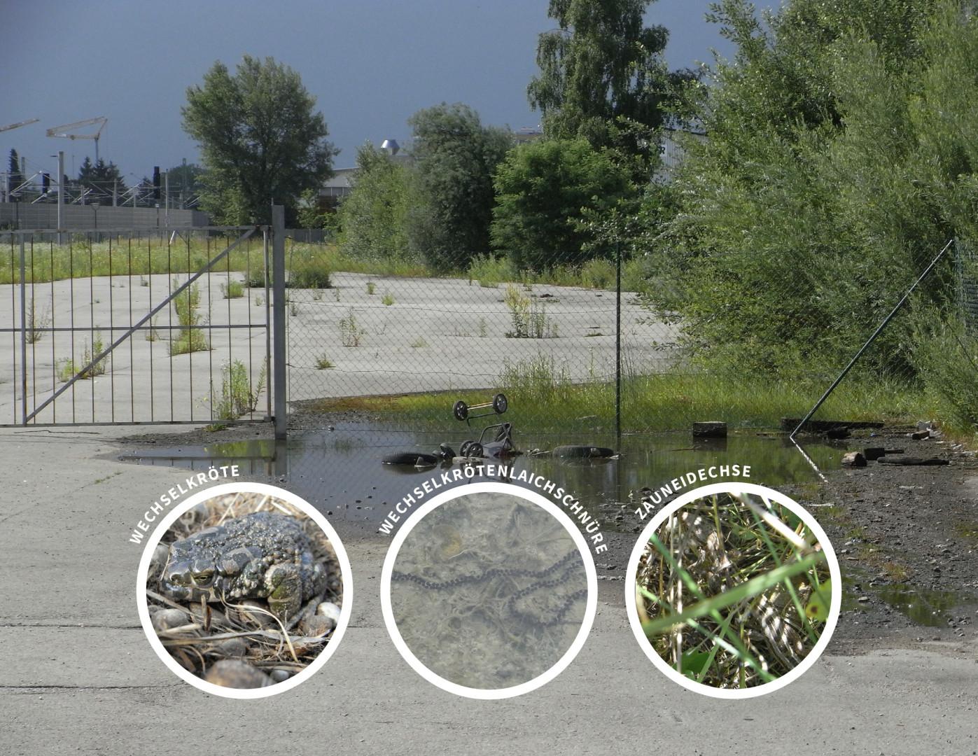 Spezielle artenschutzrechtliche Prüfung saP, München-Allach, Oertelplatz
